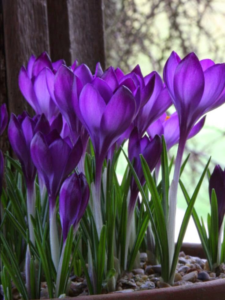 crocus early spring blooms perennial bulbs dreaming