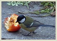 Kohlmeise an Apfel