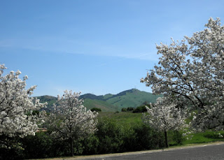 Trees in bloom frame distant green hills, Cal State East Bay campus, Concord, California