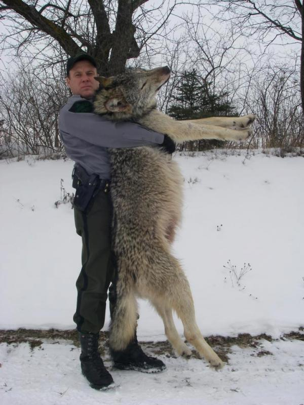 The Wild Side New Wolf Laws Take Effect Immediately