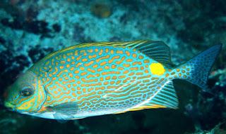 Siganus guttatus (ikan baronang)