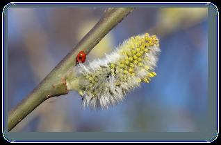 Salcia (Salix alba) - tratamente interne si externe