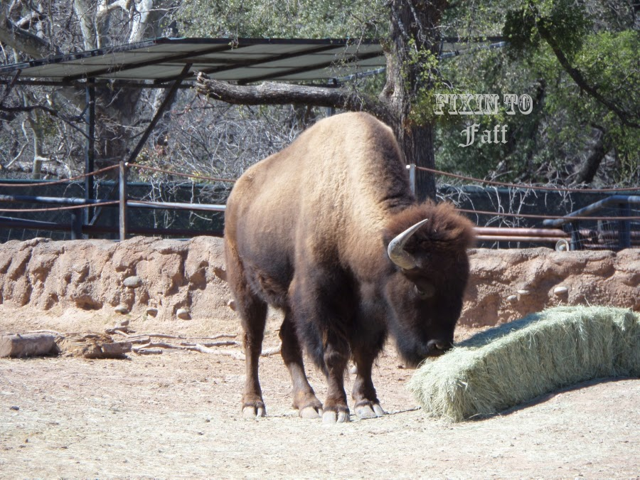 Cameron Park Zoo Bison