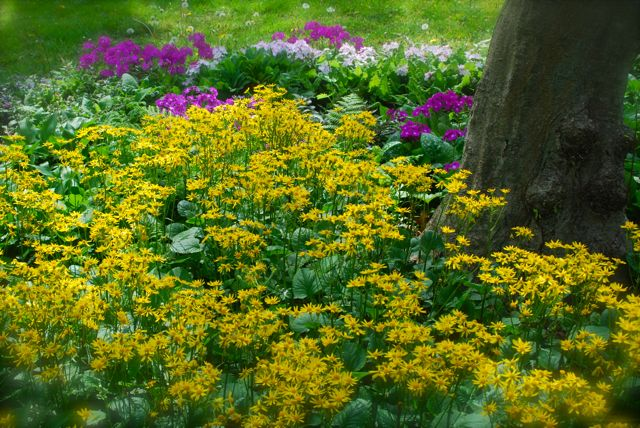 At the bottom of the terraces is Carolyn's dry shade garden, staring Golden groundsel (Senecio aureus) and Japanese woodland primroses (Primula sieboldii) at the end of April. All this luscious foliage keeps this bed looking nice into summer, as I just saw in Carolyn' post this week.