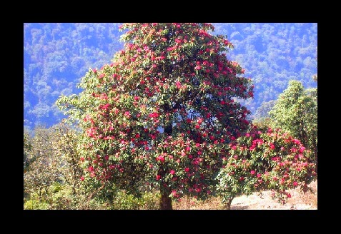 rhododendron chatrooms The valley is also home of the shingbha rhododendron  as part of the service, users can participate in online chatrooms, message  india has some of the.