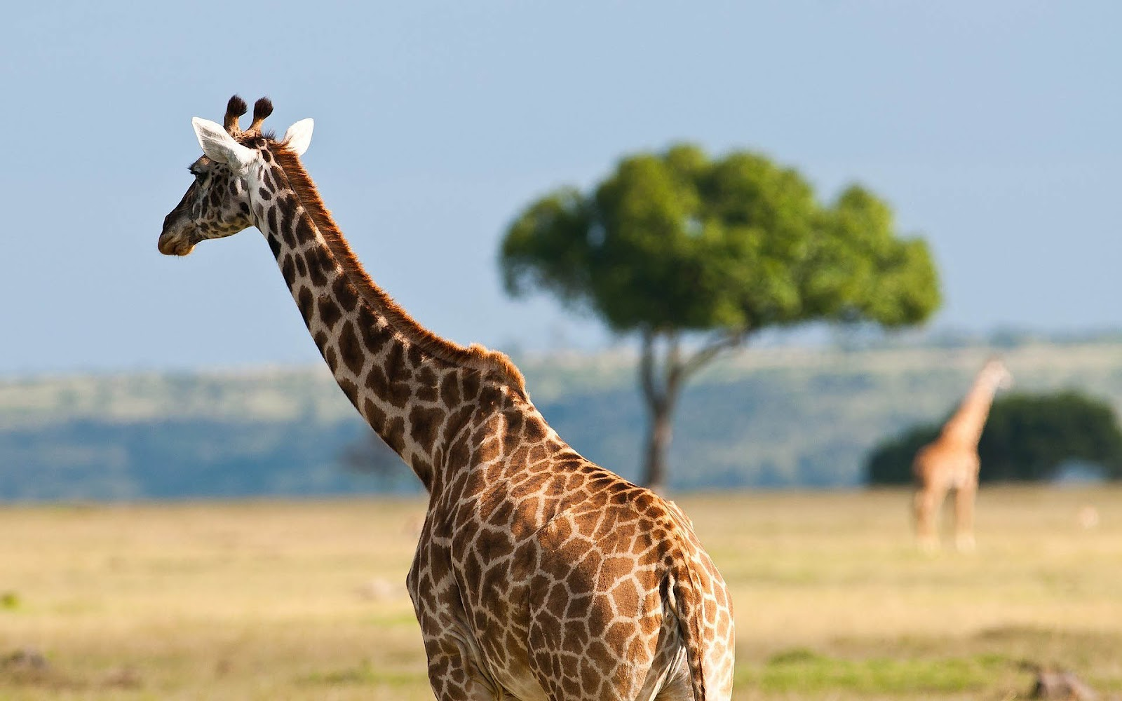 HD Giraffes Wallpapers and Photos | HD Animals Wallpapers