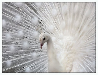 pavao albino - albino peacock