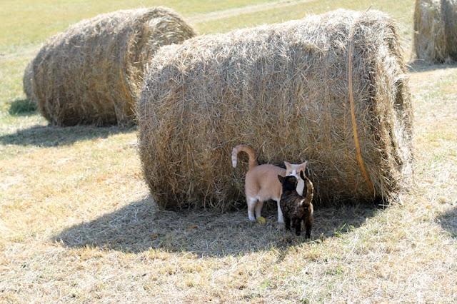 Mojo & Kali enjoying the shade of a Big Bale