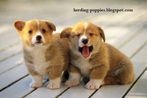 Herding Puppies Pictures