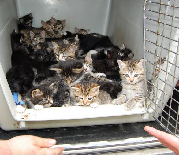 Cat Estrus After Kittens