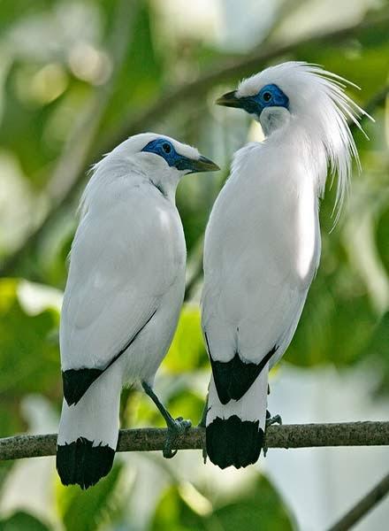 BURUNG JALAK BALI Arsip Burung