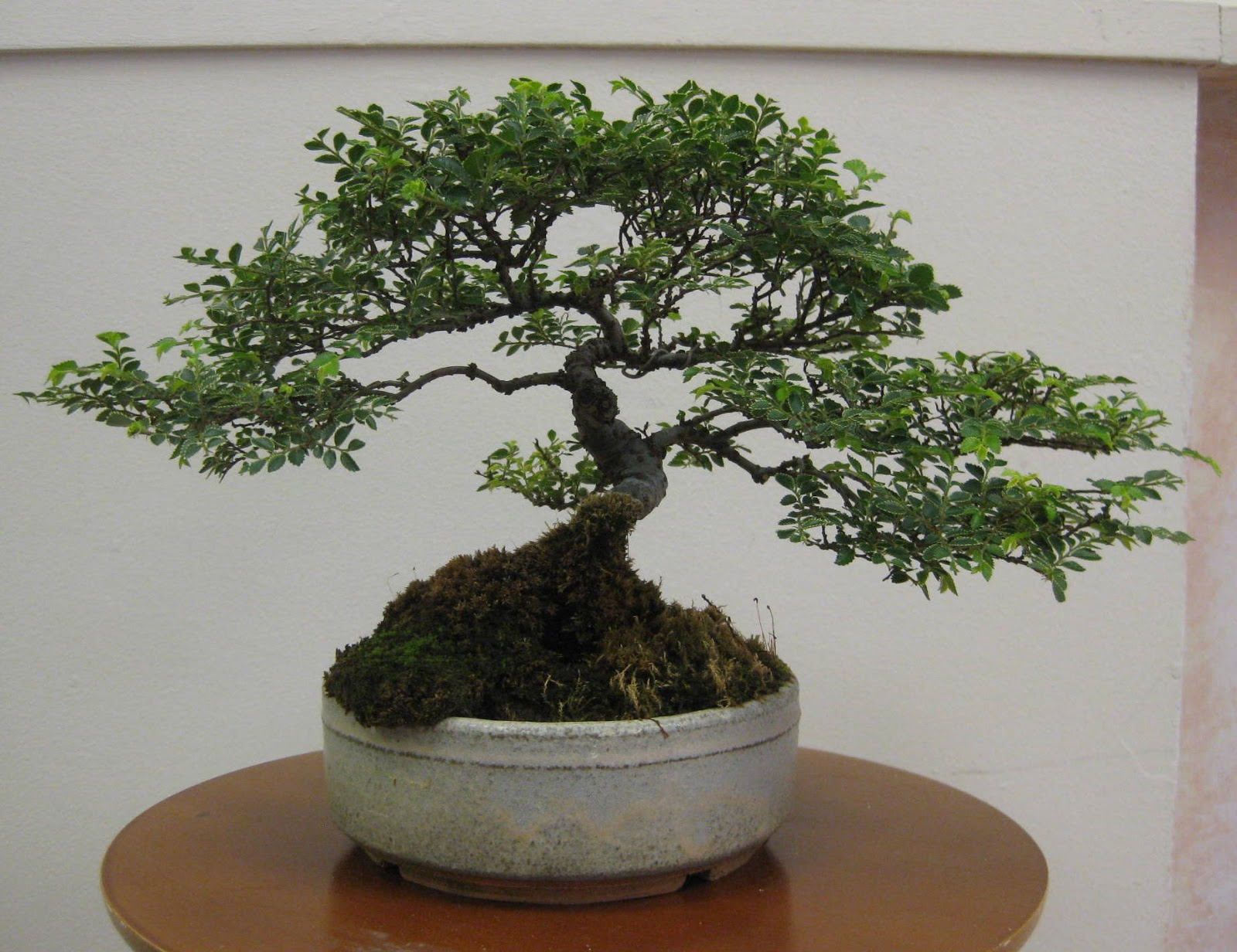 Akron Canton Bonsai Society 2013 June Exhibit Features Full