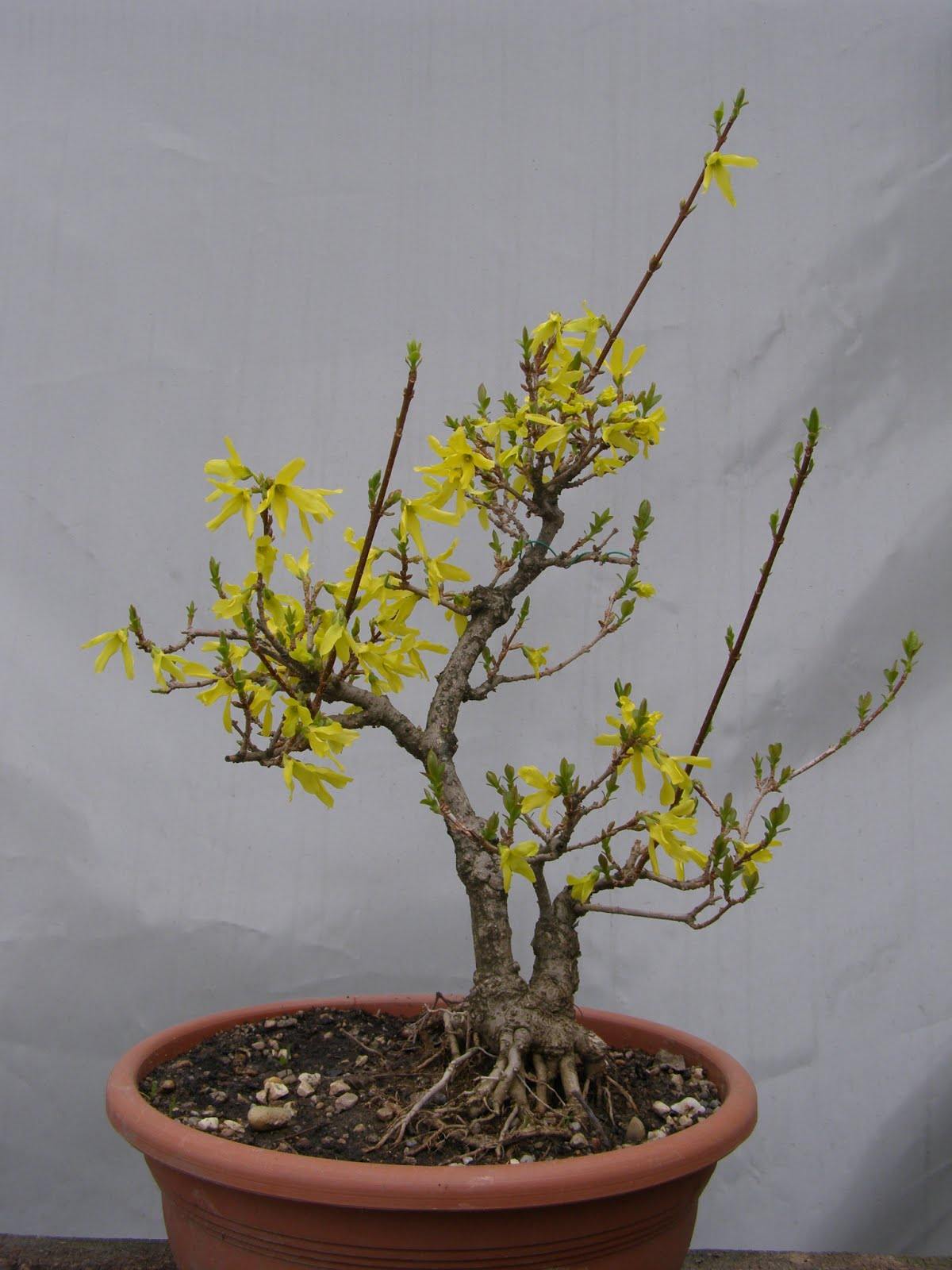 Szuky Bonsai Blog