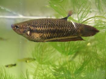 Akvaryum betta balığı hakkında bilgi