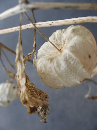 Chinese lantern flowers are frequently grown for their novel appearance
