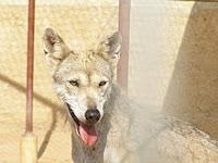 Zo is er in Dubai, de Verenigde Arabische Emiraten, onder meer de Arabische wolf, die niet meer in het wild voorkomt, gehuisvest.
