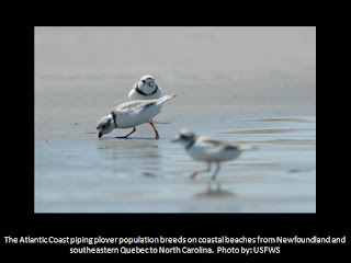 piping plover, endangered species, USFWS