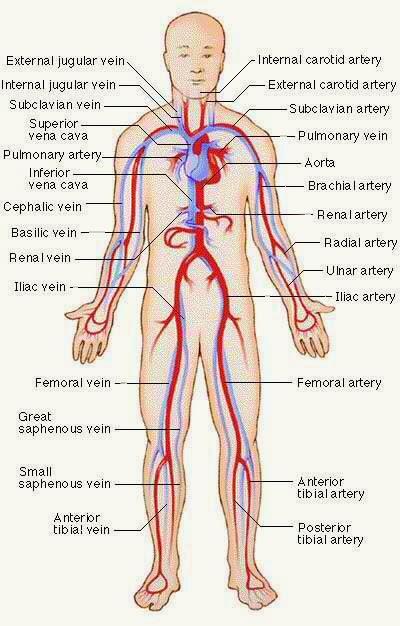 Charmant Circulatory System Anatomy And Physiology Zeitgenössisch ...