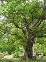 ebony-tree2.jpg