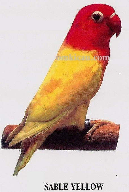 Foto Burung Lovebird Lutino Terbaik