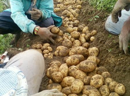 Teknis Budidaya Kentang dengan Produk Pupuk Organik NASA | Agro Nusantara | www.agrotaninusantara.com