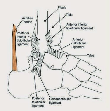 achilles tendon illustration