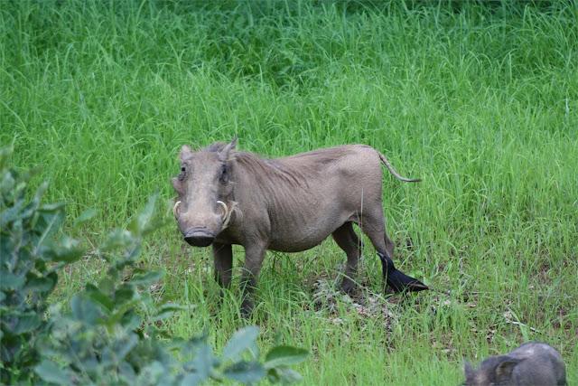 Facóquero en el Parque de Niokolo-Koba