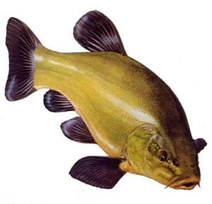 Total Fishing Blog: Fishing For Tench