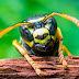 A cura do câncer existe: Veneno de vespa brasileira mata células cancerígenas com total eficacia