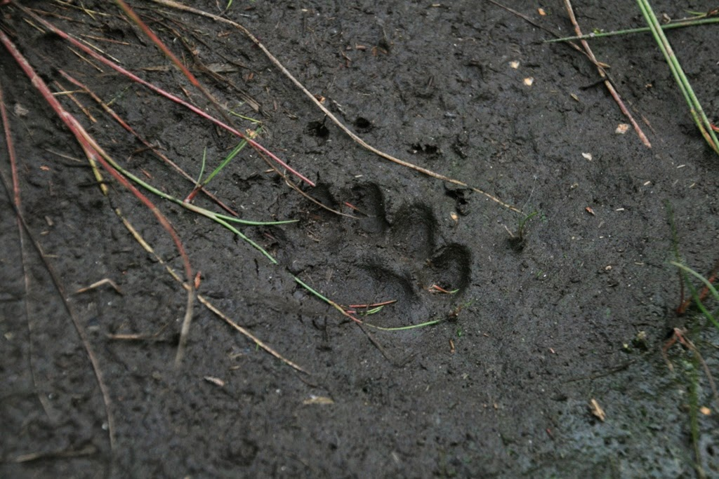 Badger (Meles meles) footprint