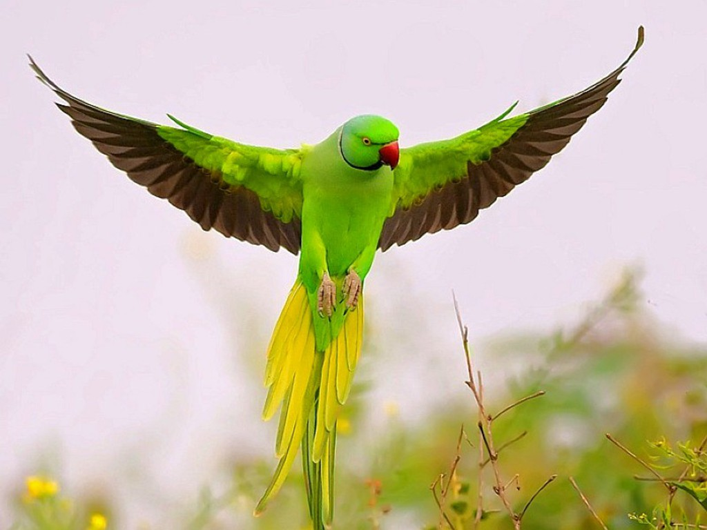 the parrot is a medium sized group of birds with the parrot being best    Indian Parrot Wallpaper
