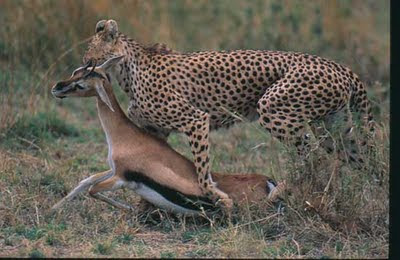 african animals of leopard hunting deer youtube