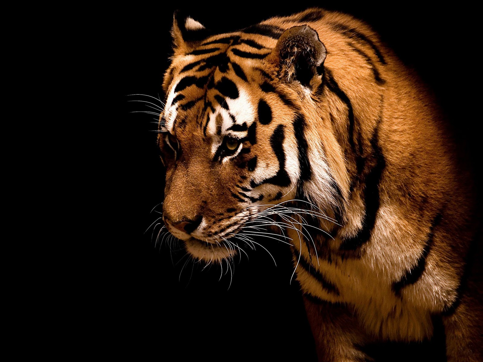 http://4.bp.blogspot.com/-sqxFQB-CjlM/Tt8imMJq6vI/AAAAAAAAAkE/uPkA7Mljb6U/s1600/Wallpapers_Windows_7_-_Tiger%252C_Big_cat.jpg