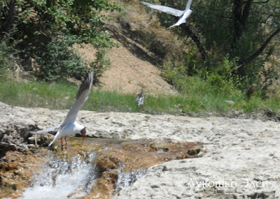 чайки  на Балахте