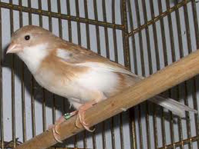 kenari border dengan kenari roller so penampilannya seindah kenari    Jenis Burung Kenari