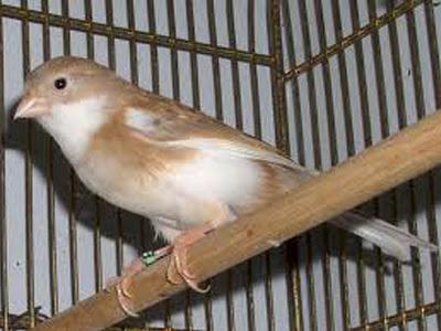 Gambar Burung Kenari American Singer