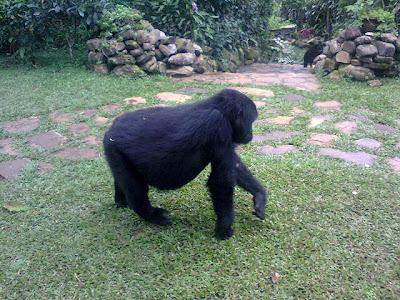 www.gorillasandwildlifesafaris.com