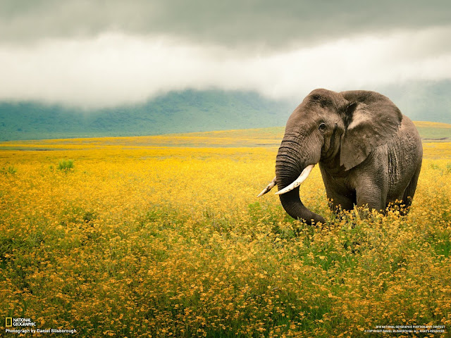 elephants, wallpapers, nature, desktop, HD, HQ, tapandaola111, national geographic