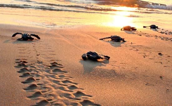 Maredolce la tartaruga carretta for Tartarughe appena nate