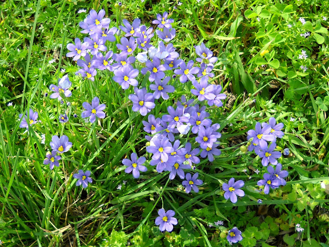 Dotted Blue-eyed Grass wildflower at White Rock Lake, Dallas, Texas