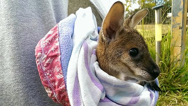 http://www.theaustralian.com.au/news/nation/stop-making-koala-mittens-ifaw-now-need-joey-pouches-after-bushfires/story-e6frg6nf-1227183092984?nk=25ad77d611c6935d3fea9971d8c28108