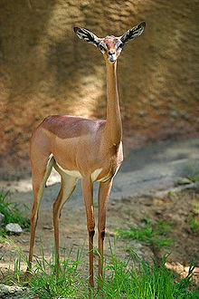 A female gerenuk, notice the long neck and small head