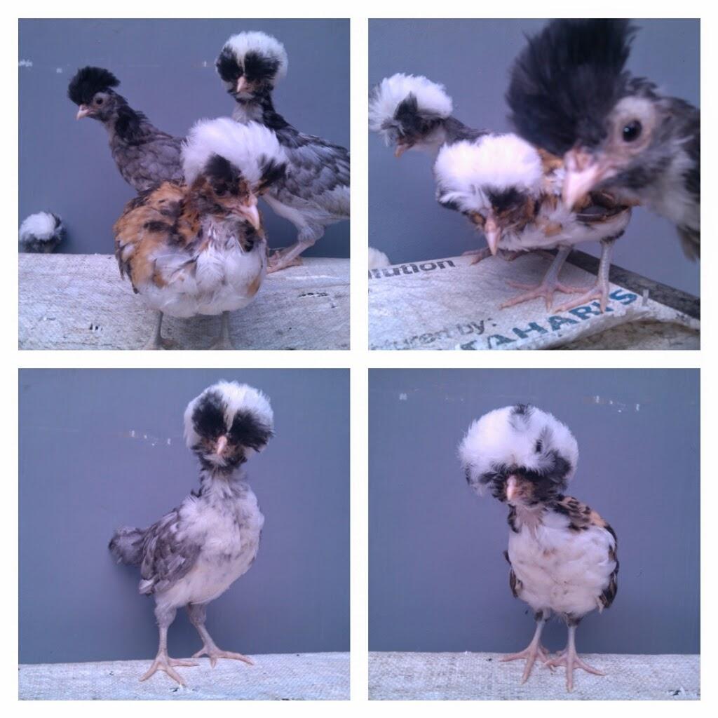jual anakan ayam jambul poland