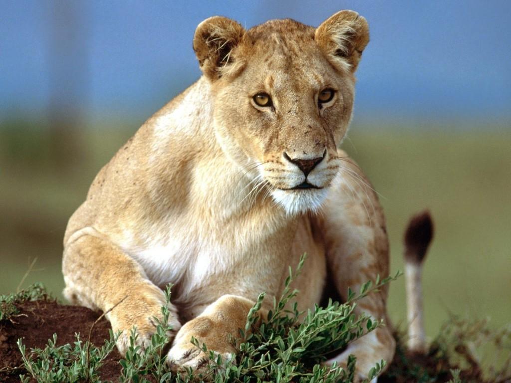Imagenes de leones imagen leona observando a la presa - Animales salvajes apareandose ...