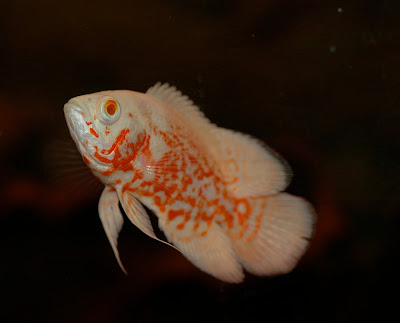 Watch furthermore Brook Trout Facts likewise About Red Parrot Fish 726360 furthermore Oscars also Watch. on oscar fish eggs hatch