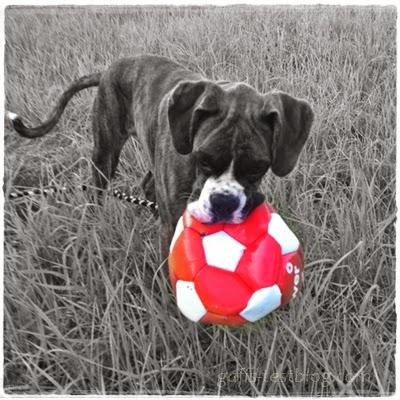 Boxer Amy mit Ball