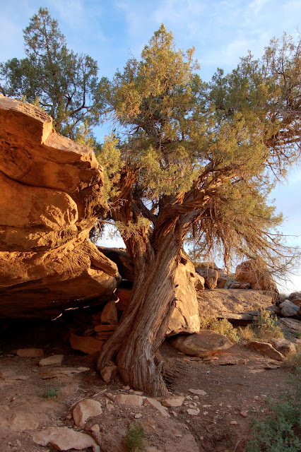 Pinion Pine and Red Rocks at Sunset Near Moab Utah