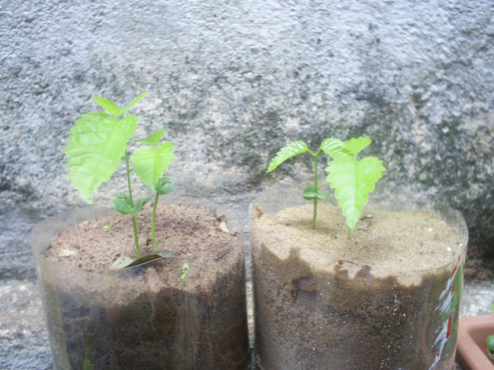 Como Plantar Sementes de Ipês Rosa,Roxo,Amarelo,Etc. 11