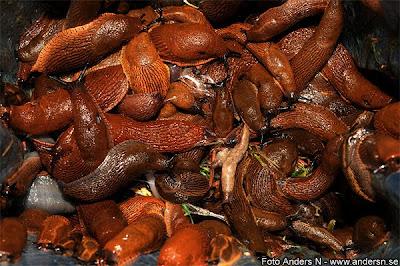 massor med sniglar, snigel, mördarsnigel, mördarsniglar, trädgård, trädgårdssniglar, äckliga, slemmiga, bruna, röda, snail, snails, killer snails, lots of, disgusting, creepy, foto anders n, tsyfpl