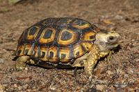 Spekes hinged tortoise